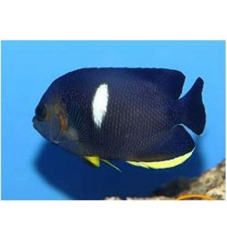 Mažasis angelas - Centropyge tibicen (Angelfish)