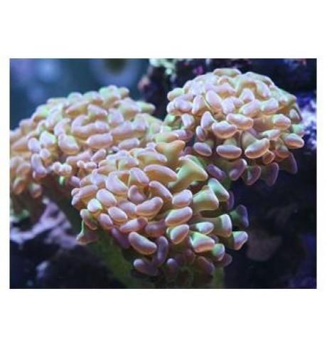 LSP pusiau kietas koralas - Euphyllia parancora