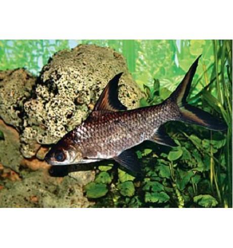 Balantiocheilus melanopterus - Ryklinis barbusas
