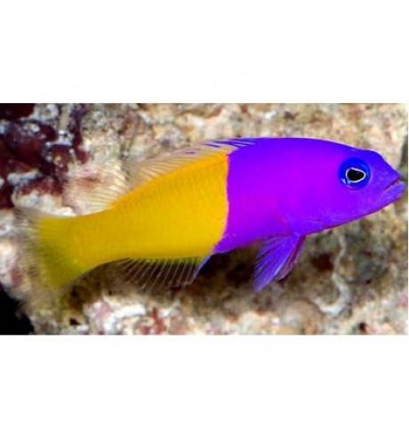 Chromis - Pseudochromis diadema (Chromis)