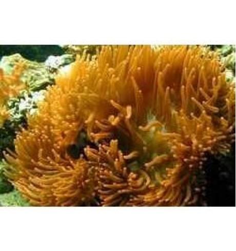 Aktinija - Entacmea quadricolor