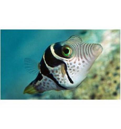 Pusliažuvė - Canthigaster valentini (Pufferfish)