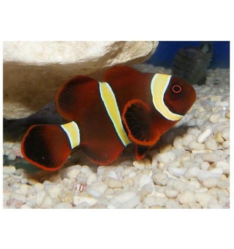 Klounas - Premnas biaculeatus (Clounfish)