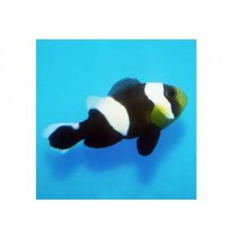 Klounas - Amphiprion polymnus (Clounfish)