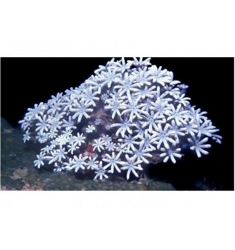 Minkštasis koralas - Tubipora musica