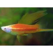 Xiphophorus helleri Bicolor - Dvispalvis kardonešis