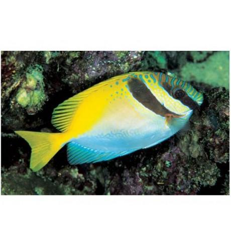 Triušiažuvė - Siganus doliatus (Scribbled Rabbitfish)