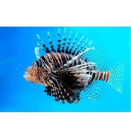 Liūtžuvė - Pterois volitans (Lionfish)