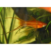 Xiphophorus helleri Lyra - Kardonešis lyra