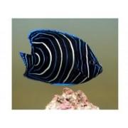 Didysis angelas - Pomacanthus semicirculatus (Angelfish)
