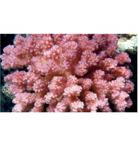 SPS kietasis koralas - Acropora sp.