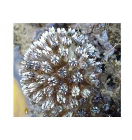 LSP pusiau kietas koralas - Galaxea limax