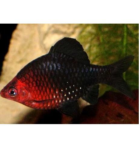 Barbus nigrofasciatus - Juodas barbusas