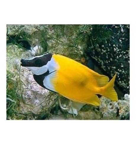 Lapiaveidė triušiažuvė - Siganus vulpinus (Foxface Rabbitfish)