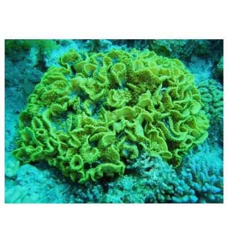 SPS kietasis koralas - Turbinaria mesenterina