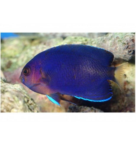 Mažasis angelas - Centropyge flavicauda (Angelfish)