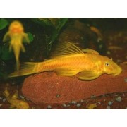 Ancistrus sp. Gold