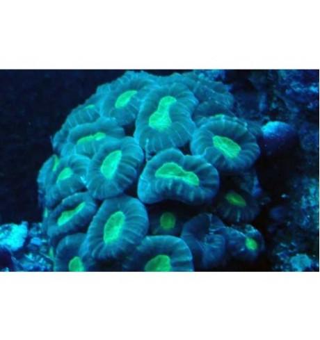 LSP pusiau kietas koralas - Caulastrea furcata