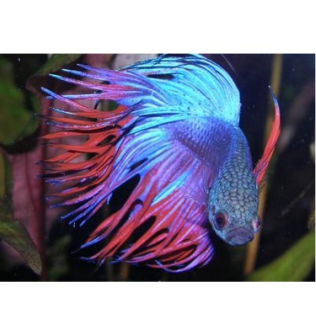 Betta splendens - Gaidelis