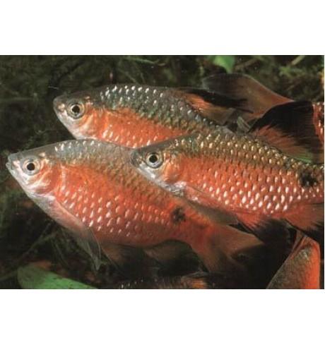 Barbus conchonius bicolor - Ugninis barbusas dvispalvis