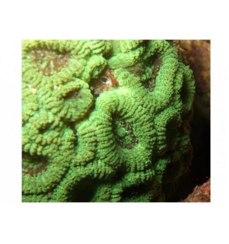 LSP pusiau kietas koralas - Favia sp.