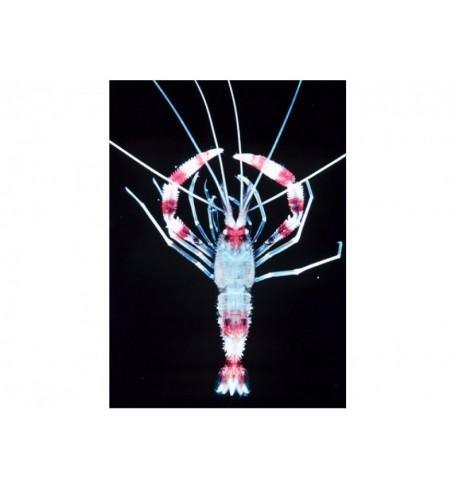 Krevetė - Stenopus hispidus