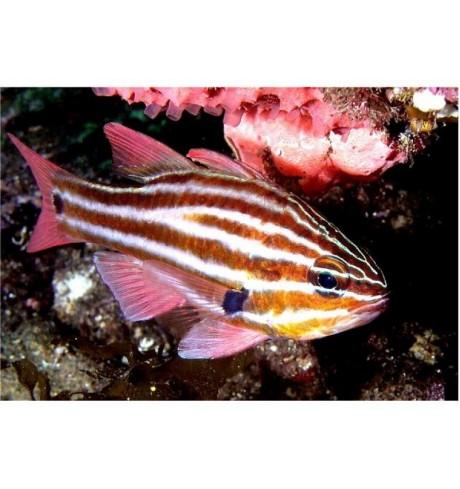 Kardinolas - Apodon margaritophorus (Cardinalfish)