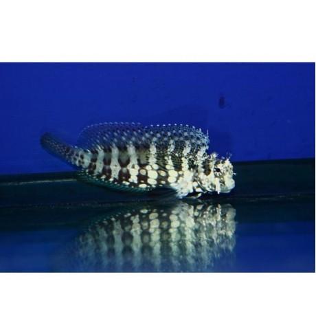 Jūrų šuniukas - Salarias fasciatus (Blennie)
