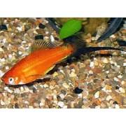 Xiphophorus helleri - Kardonešis