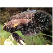 Ešeržuvė - Calloplesiops altivelis (Grouper)