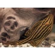 Panaque nigrolineatus - Karališkasis panakas