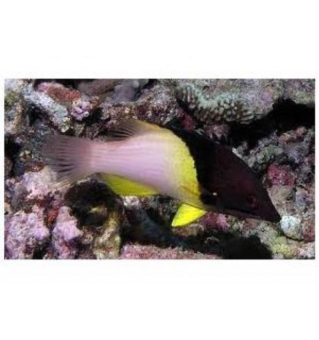 Kiauliasnukė Lūpažuvė - Bodianus mesothorax (Hogfish)