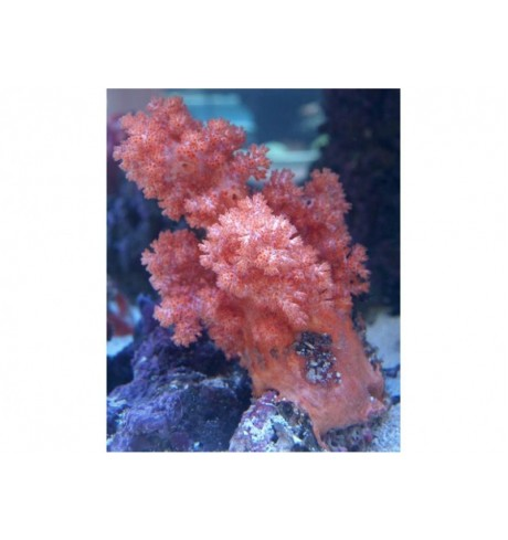 Minkštasis koralas - Neospongodes sp.