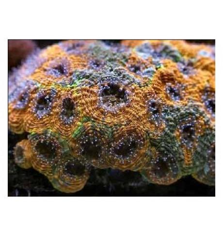 LSP pusiau kietas koralas - Acanthastrea echinata
