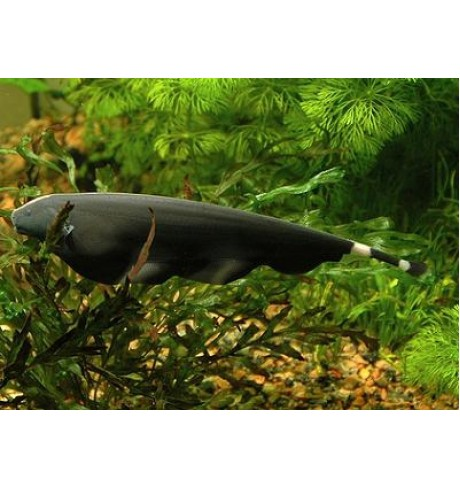 Apteronotus albifrons - Juodas peilis