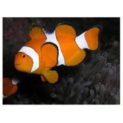 Klounas - Amphiprion ocellaris (Clounfish)