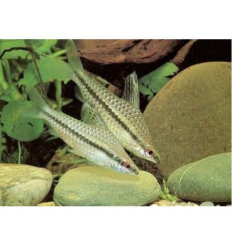 Chilodus punctatus - Taškuotasis chilodas