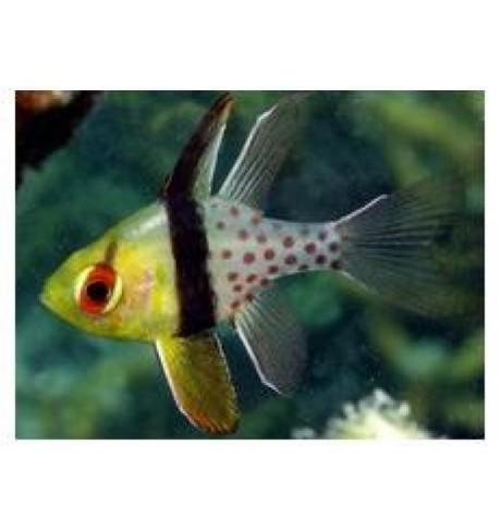 Kardinolas - Sphaeramia nematoptera (Cardinalfish)