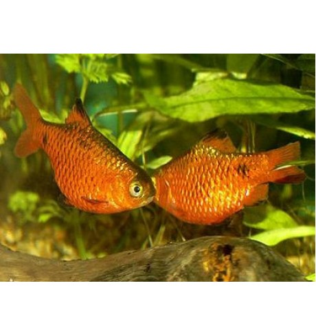 Barbus conchonius - Ugninis barbusas