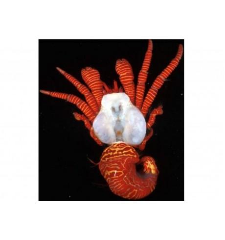 Krabas - Ciliopagurus strigatus