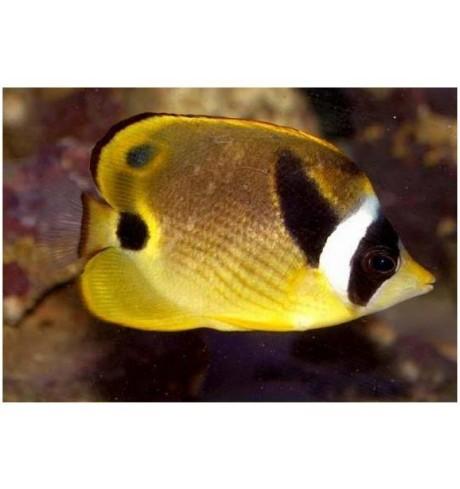 Drugelis - Chaetodon lunula (Raccoon Butterfly)